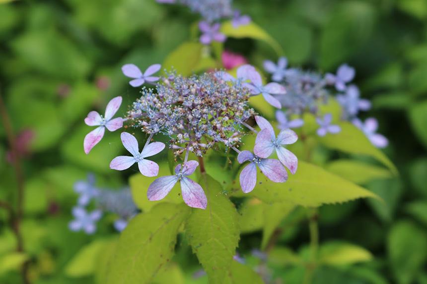 鎌倉・光則寺のブルーの紫陽花