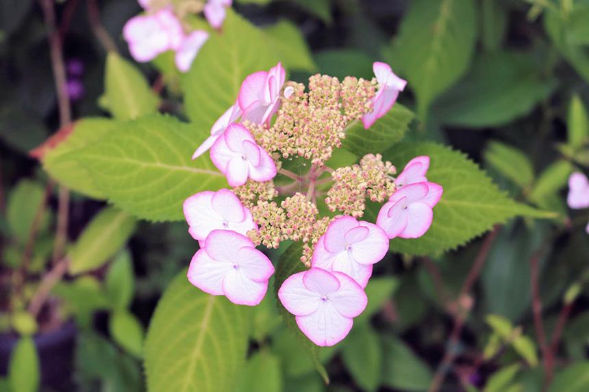鎌倉・光則寺のピンク色の紫陽花