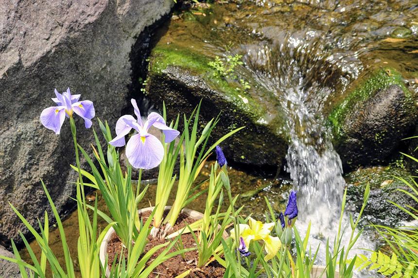 鎌倉・長谷寺の花しょうぶ