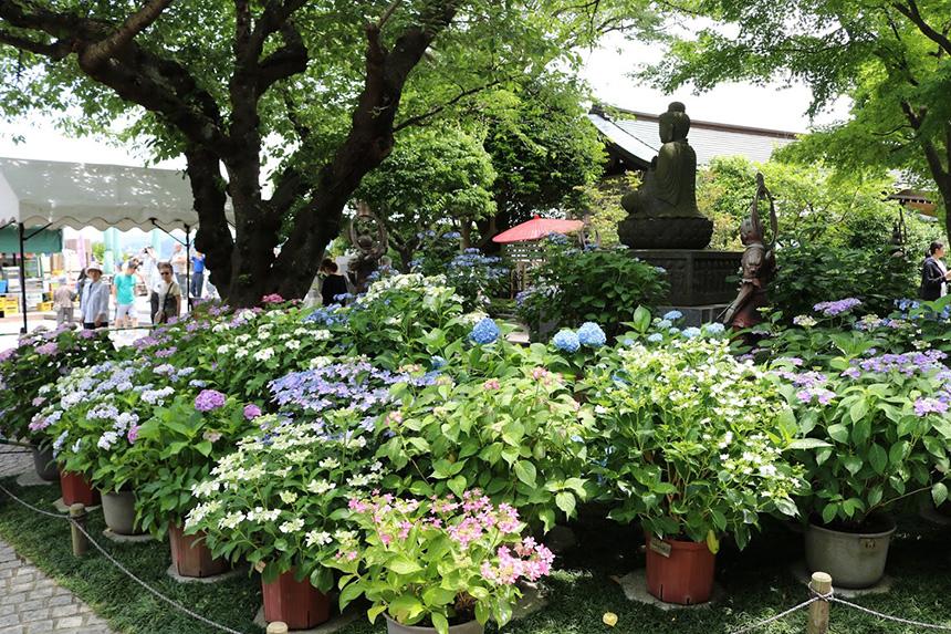 鎌倉・長谷寺の鉢植え