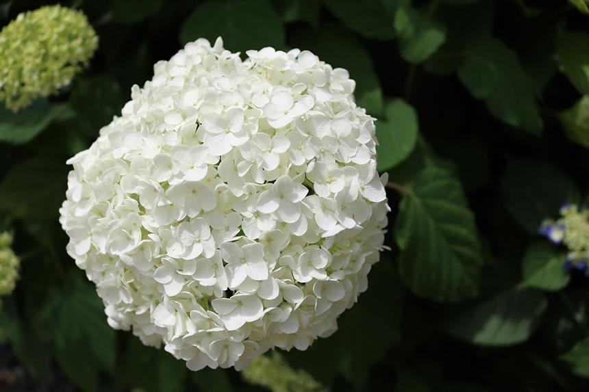 鎌倉・紫陽花