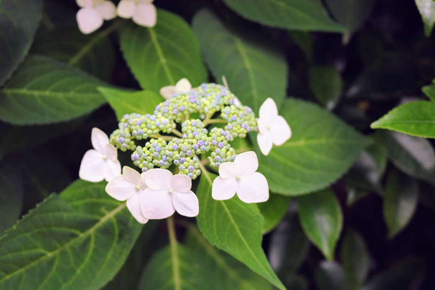 鎌倉・極楽寺の紫陽花