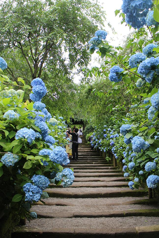 北鎌倉・明月院の満開の紫陽花