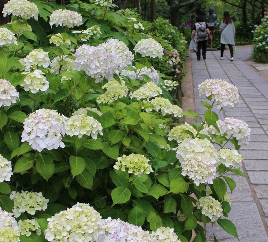 北鎌倉・東慶寺の紫陽花