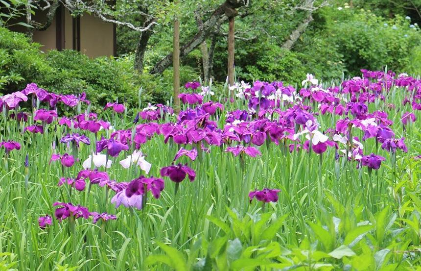 北鎌倉・東慶寺の花菖蒲