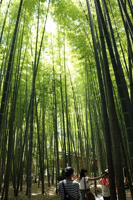 鎌倉・報告寺の竹林を歩く家族