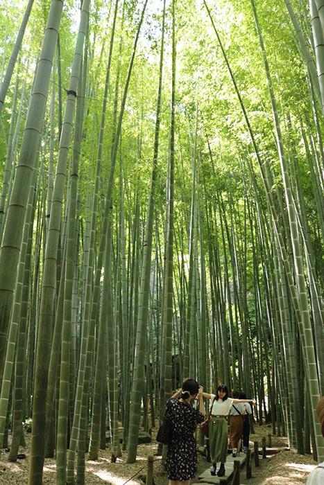 鎌倉・報告寺の竹林