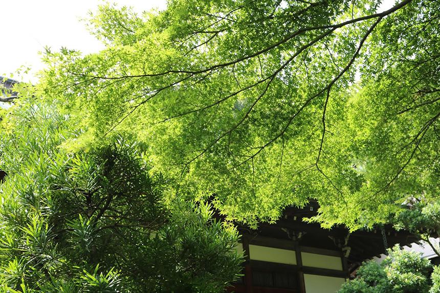 深緑の紅葉