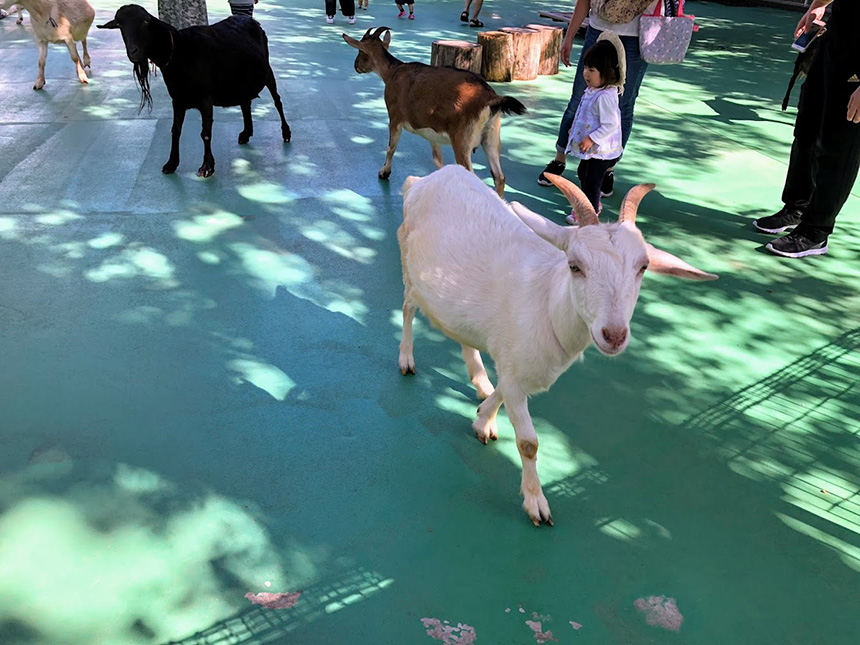 山羊の写真