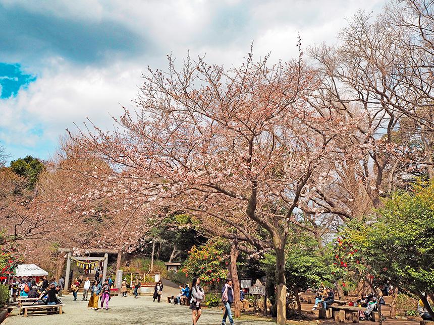 源氏山公園(鎌倉市)の桜
