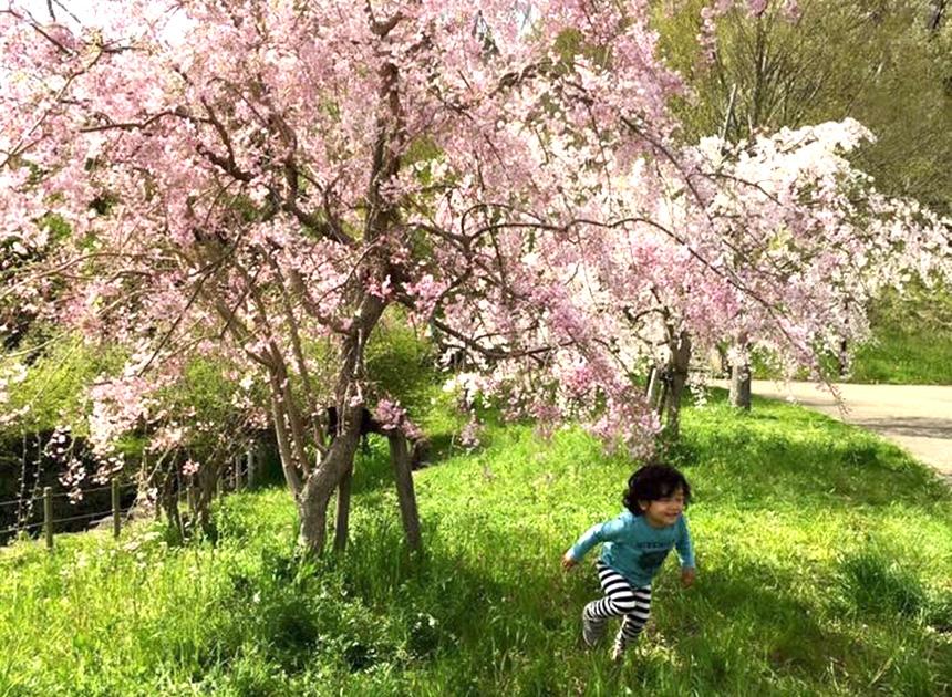 茅ヶ崎里山公園(茅ヶ崎市)の桜