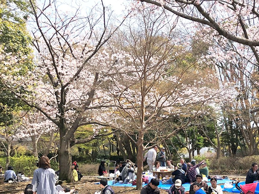 茅ヶ崎中央公園(茅ヶ崎市)のお花見