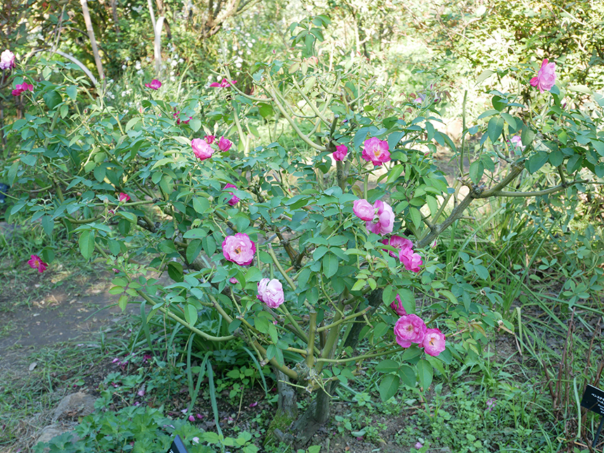 湘南・平塚の植物園『花菜ガーデン』のバラ