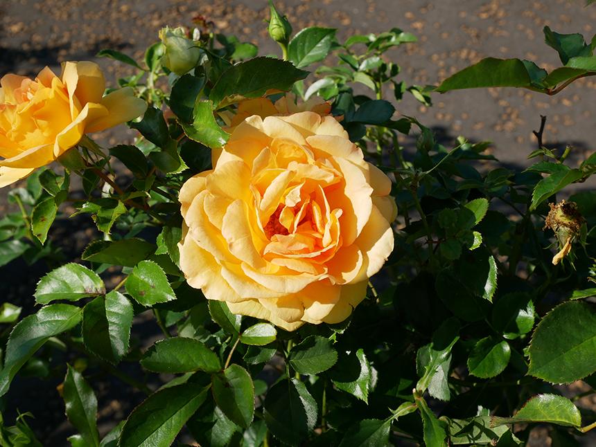 湘南・平塚の植物園『花菜ガーデン』の黄色いバラ