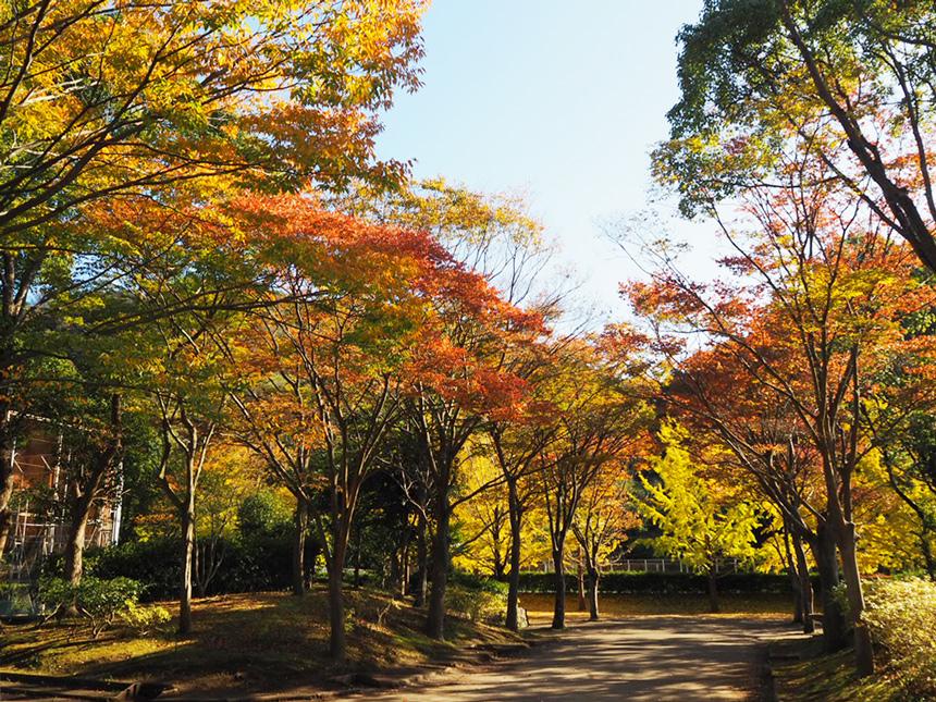 葉山『南郷上ノ山公園』の銀杏並木の紅葉