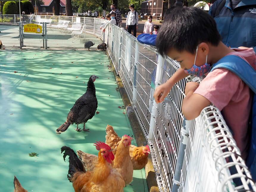『平塚市総合公園』のふれあい動物園のにわとり
