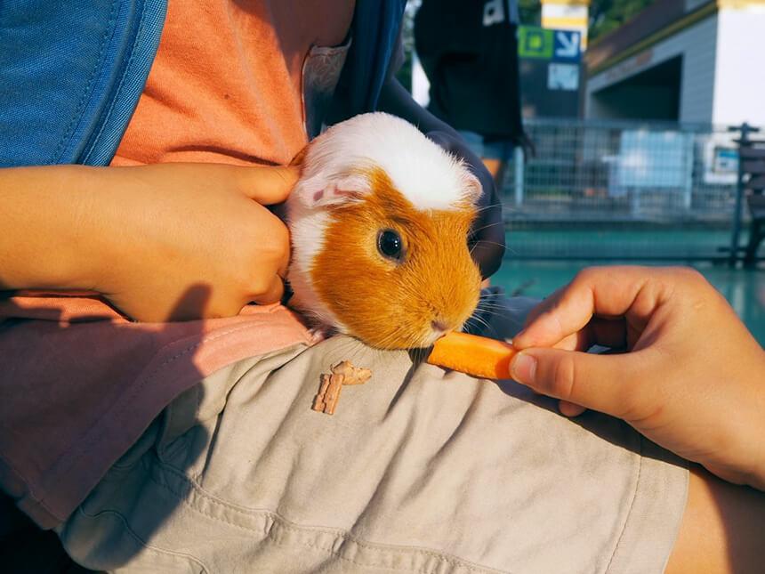 『平塚市総合公園』ふれあい動物園でモルモットに餌やり