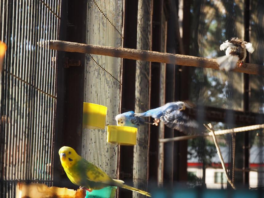 『平塚市総合公園』ふれあい動物園のセキセイインコ