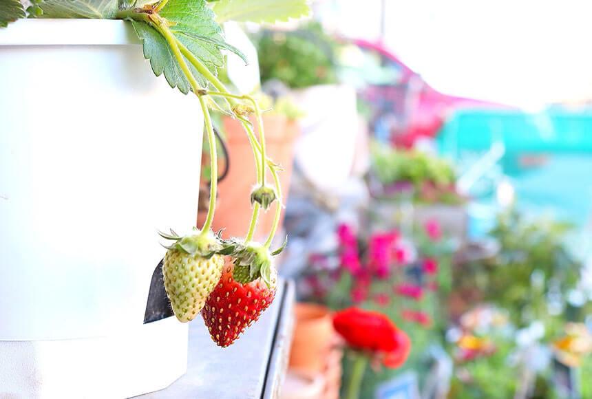 藤沢のお花屋さん「FLORAL WIND'S(フローラルウインズ)」の苺の鉢植え