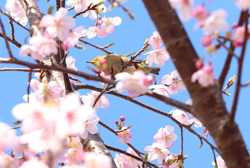 平塚の公園『湘南平』の桜の木にとまるメジロ