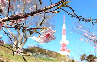 湘南平の桜と絶景