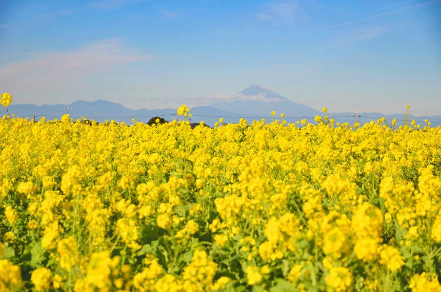 横須賀『長井海の手公園 ソレイユの丘』の菜の花