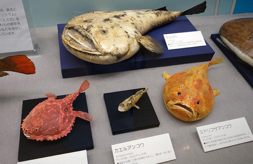 葉山しおさい博物館のアンコウ展示物