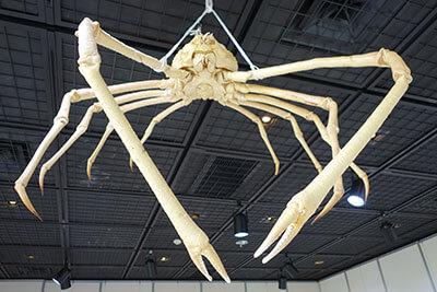 葉山しおさい博物館の海洋生物展示「タカアシガニ」