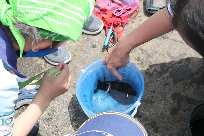湘南・江ノ島『海岸生物観察会』で観察した海の生き物「アメフラシ」