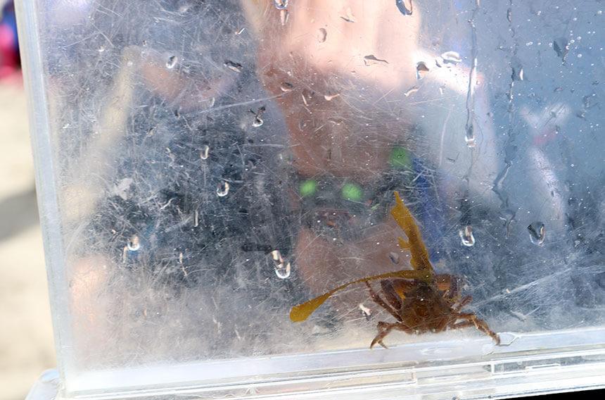 湘南・江ノ島『海岸生物観察会』で観察した海の生き物「コノハガニ」