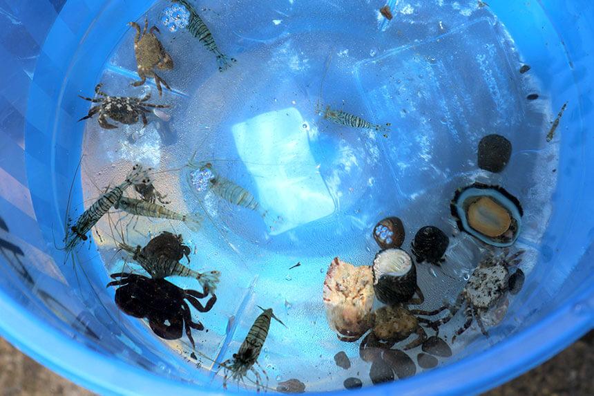 湘南・江ノ島『海岸生物観察会』で観察した海の生き物「イソスジエビ」