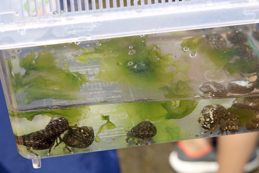 湘南・江ノ島『海岸生物観察会』で観察した海の生き物「ホンヤドカリ」