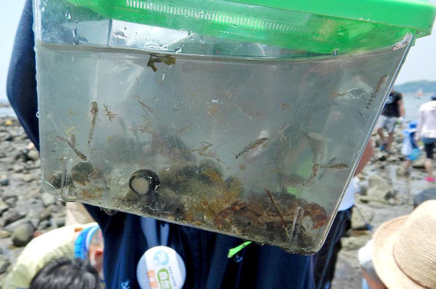 鎌倉「海と自然の教室」で採った海の生物いっぱいの水槽