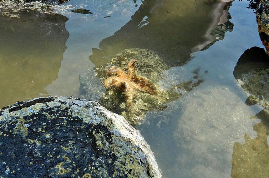 鎌倉「海と自然の教室」で採ったヤツデヒトデを石の上へ