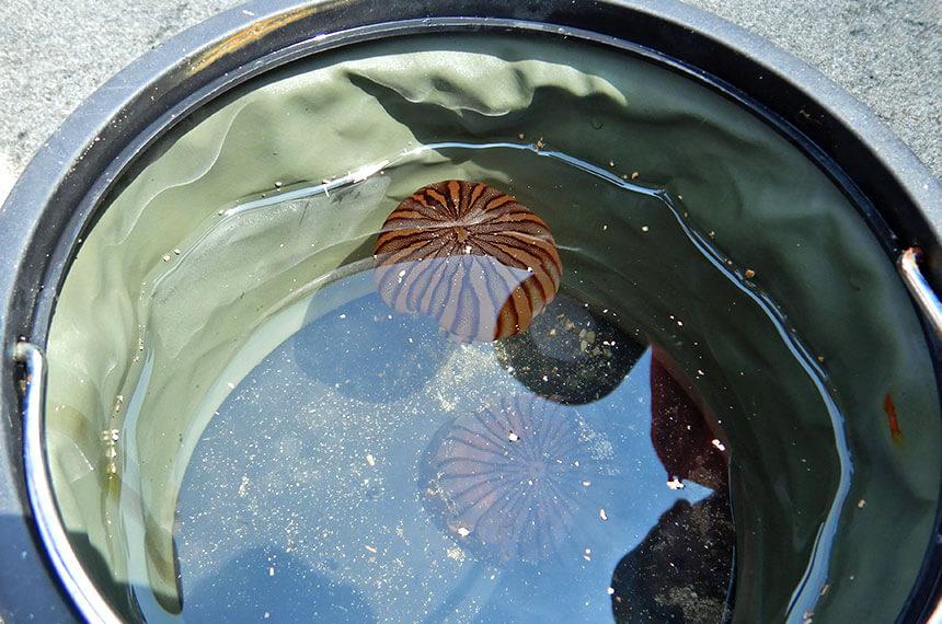 鎌倉「海と自然の教室」で採ったアカクラゲ