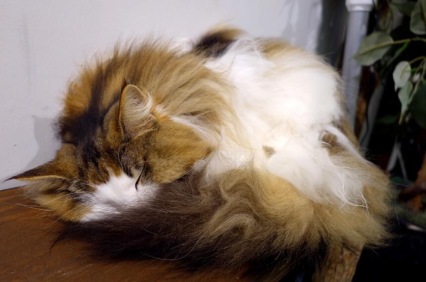 猫カフェのふわふわな毛の猫