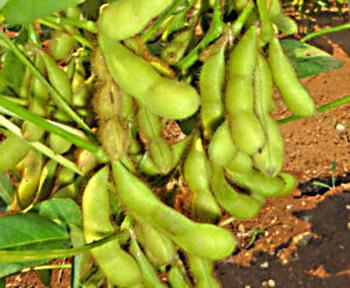 収穫体験の枝豆