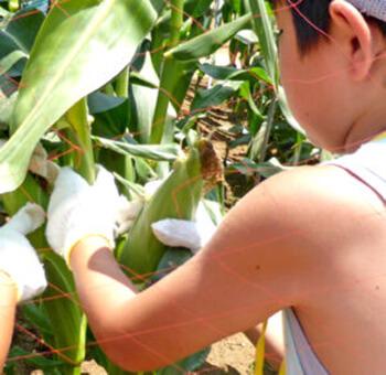 トウモロコシの収穫体験